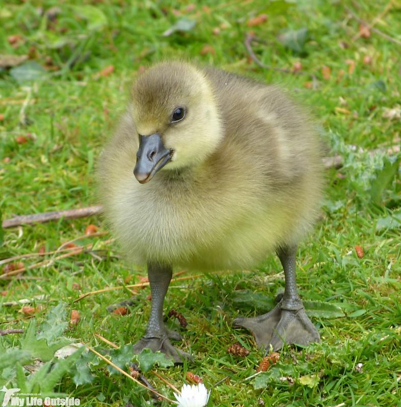P1120750 - Greylag Goose