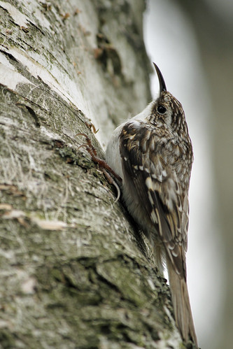 Brown Creeper | by dt8thd