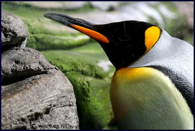MaNcHoT Royal-----KING PeNgUiN
