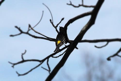 IMG_5315_Yellow_Rumped_Warbler