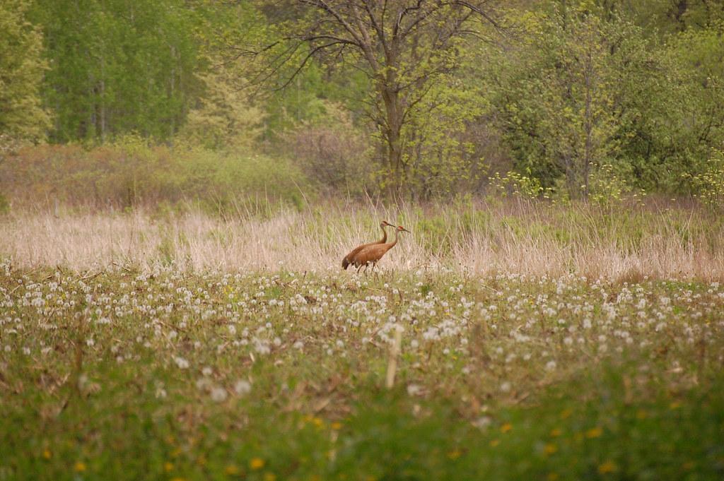 sandhill cranes identification used birds of minnesota