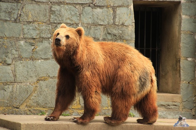 Eisbär Fiete im Zoo Rostock 14.06.2015  63