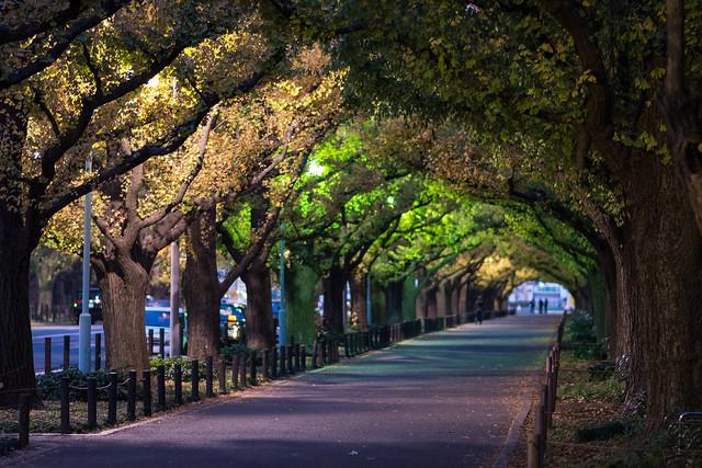 夜明け前の神宮外苑イチョウ並木