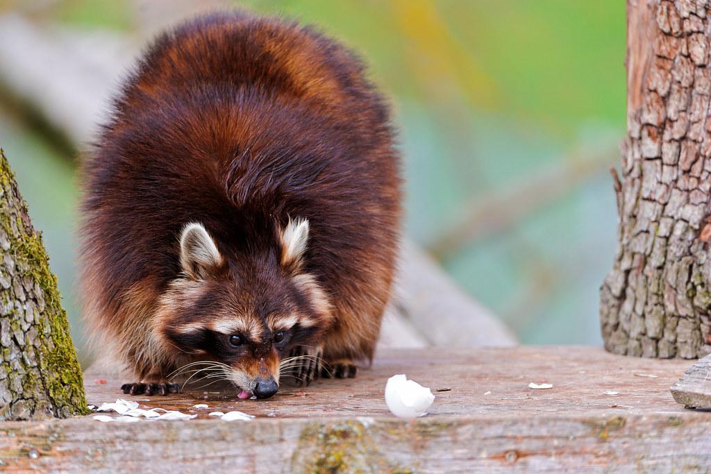 Raccoon Licking A Broken Egg A Raccoon Licking The