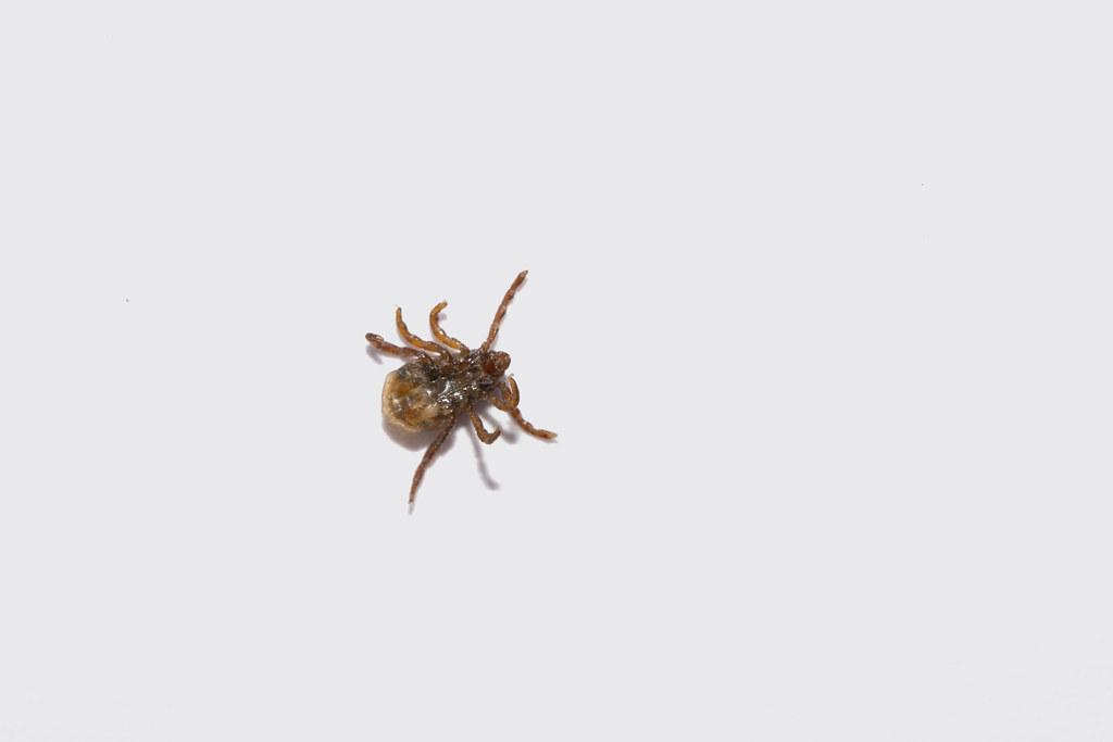 Q Fever Reptiles Tick   Ticks are small...