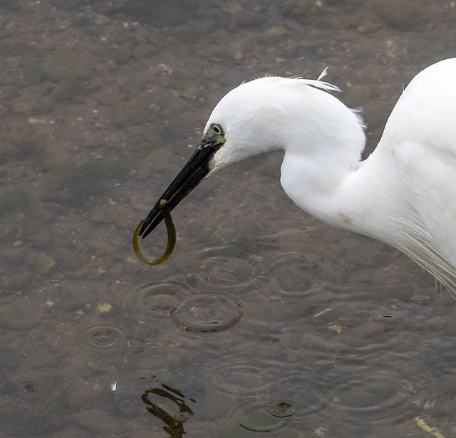 little egret 456 (536)
