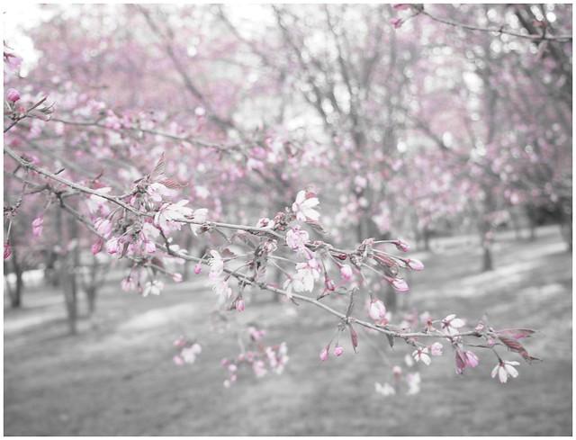 kirsikankukkaharmaa2, kirsikankukka1, kirsikkapuisto, roihuvuori,helsinki, visit helsinki, tip helsinki, japanese style garden, cherry park, kirsikkapuisto, japanilaistyylinen puutarha, hanami, sakura, kirsikankukat, cherry blossom, vinkit, kukat, luonto, pinkki, vaaleanpunainen, kaunis, puutarha, puisto, itä-helsinki, japani, kukat,