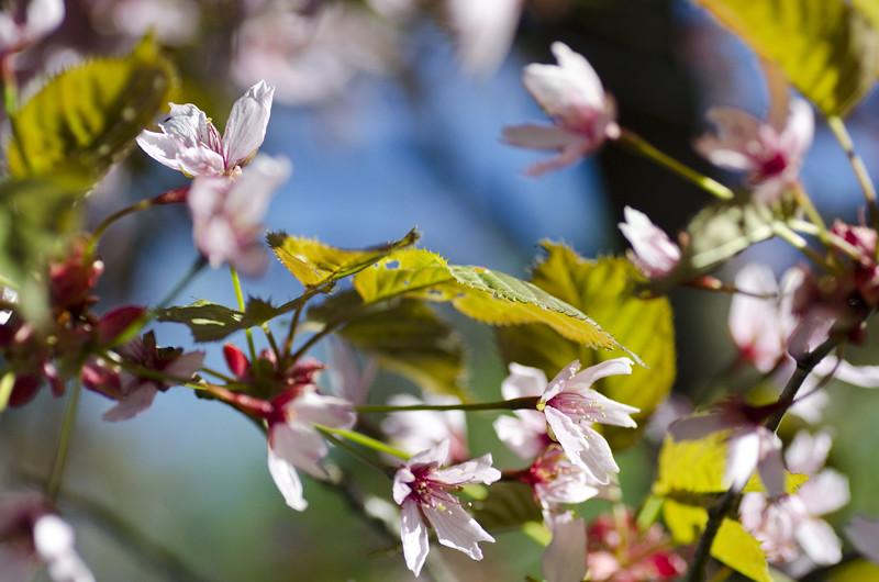 kirsikka7