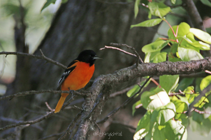 IMG_7116BaltimoreOriole