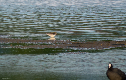 Red-necked Phalarope, Broom GP, 19th May 2015