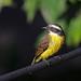 Bentevizinho-de-penacho-vermelho (Myiozetetes similis), Social Flycatcher.