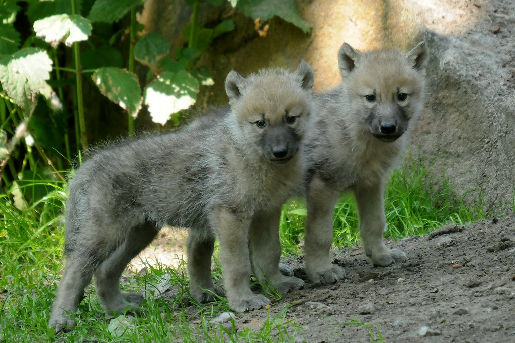 canis lupus hudsonicus | Kanadischer Wolf im Zoo Berlin ...