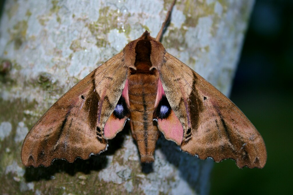 Blind Eyed Sphinx Giant Pacific Northwest Moth