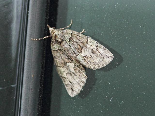 Hydriomena Moth 20150514