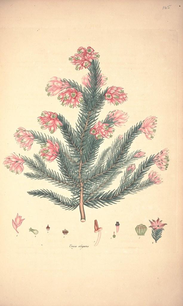Erica elegans