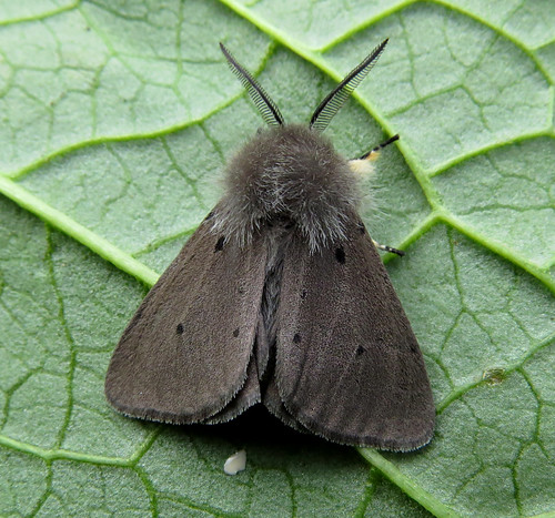 Muslin Moth Diaphora mendica Tophill Low NR, East Yorkshire May 2015