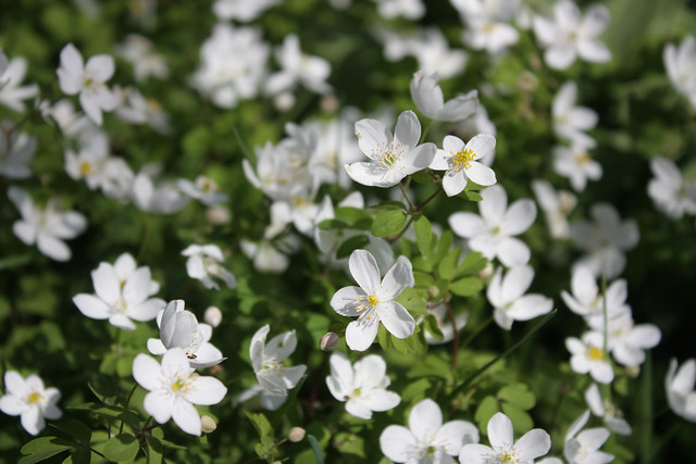 dozens of false rue anemone