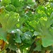 Cabbage Fern (Platycerium elephantotis)