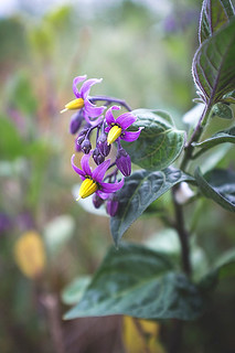 Woody Nightshade | by Susie Hewitt
