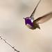 Costa's Hummingbird in the Anza Borrego Desert