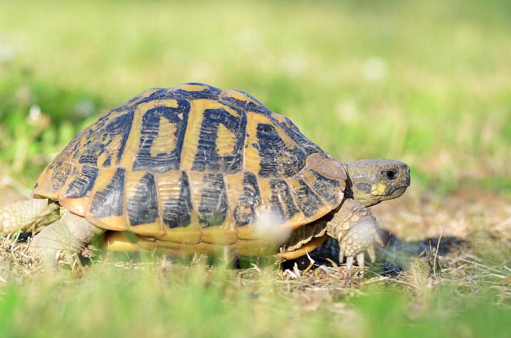Tartaruga di terra testudo hermanni testugine rettile - Pagine di colorazione tartaruga ...