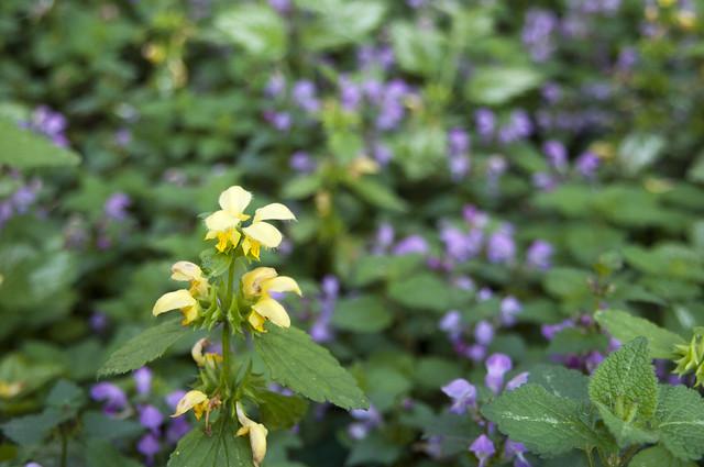 Yellow and Purple Lamium