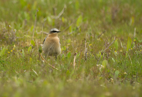 Wheatear, Meadow Lane, 9th May 2015