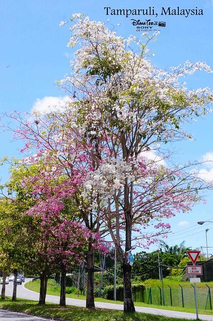 Sabah Sakura Tree