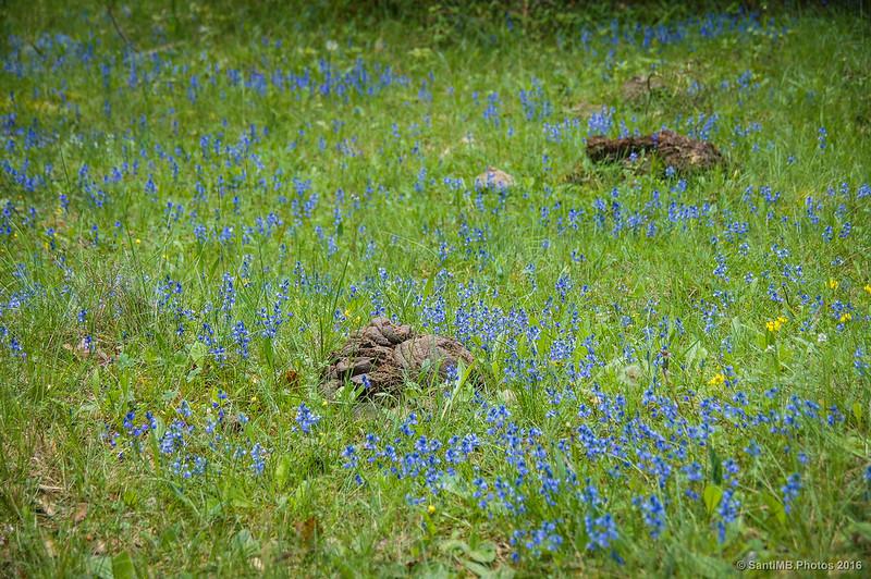 Flores azules y heces de vaca