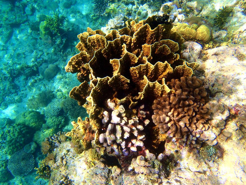 Millepora squarrosa, Plate fire coral | OLYMPUS DIGITAL ...