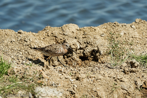 Bécasseau cocorli Calidris ferruginea Curlew Sandpiper1647