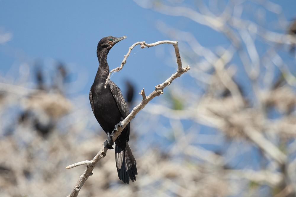 Neotropic Cormorant (Phalacrocorax brasilianus)