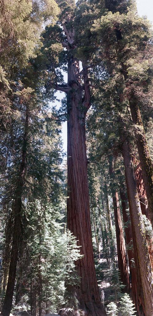 sequoiapano3