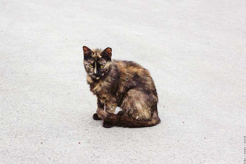 Cat, Siena