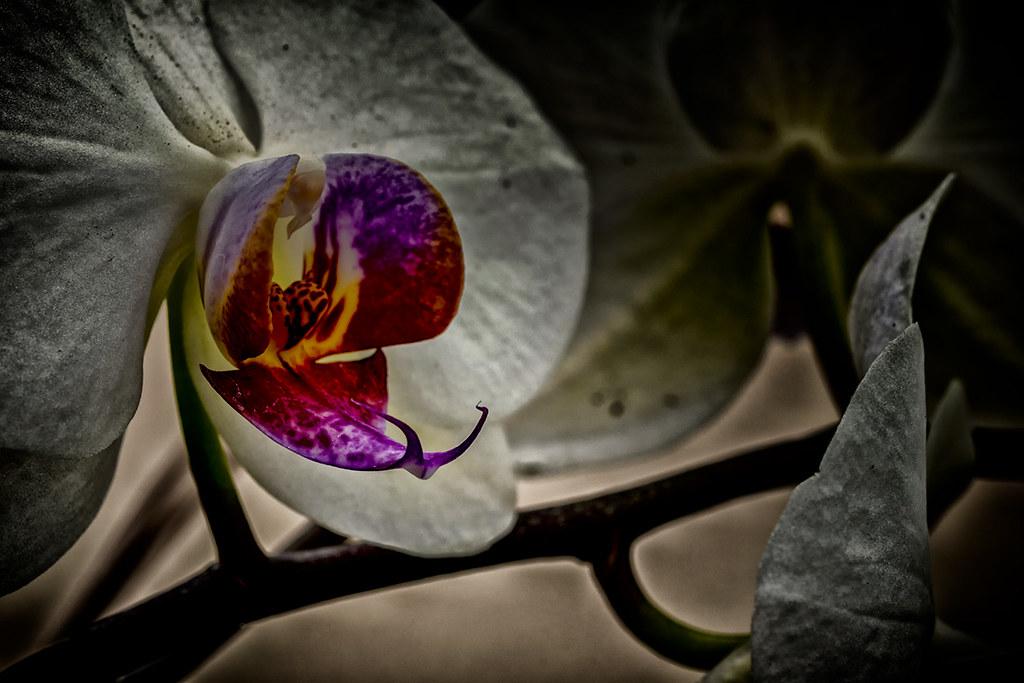 Orchideæ