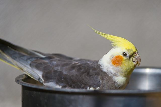 Cockatiel Bird Food List