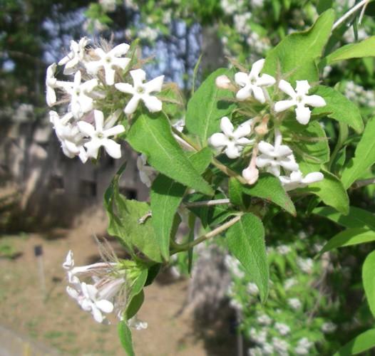 Abelia triflora 17496947755_43d0e0a8e8_o