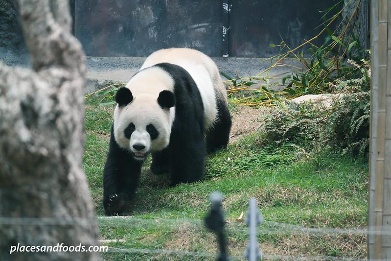 macau giant panda pavilion panda walking