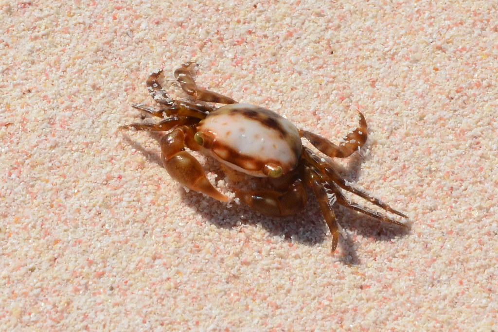 Bermuda Pink Sand Amp Crab Taken At Horseshoe Bay Beach Flickr