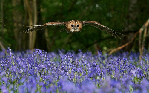 Tawny over Blue | by Sweetmart