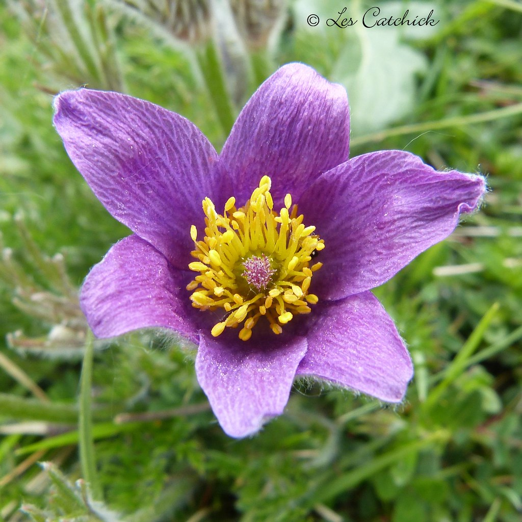 Pasque flower I didn t see a single butterfly in an hour a…