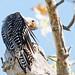Red Bellied Woodpecker 8
