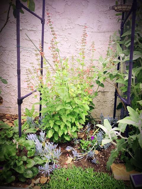 Salvia coccinea 'Brenthurst', Senecio serpens