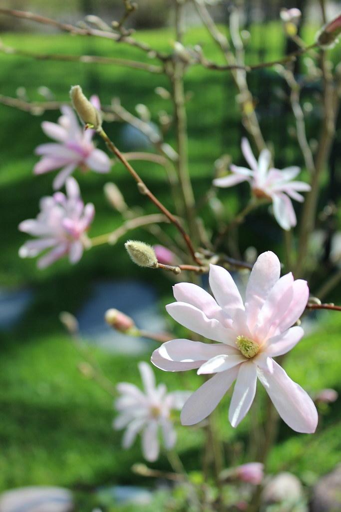 Magnolia 1