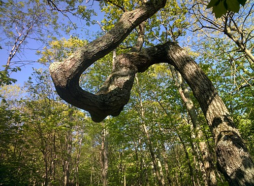 Twisted Tree Trunk, Upper Hawksbill Trail, Shenandoah #throughglass