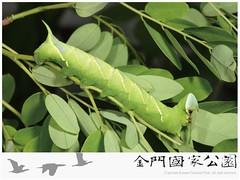 木蜂天蛾-02