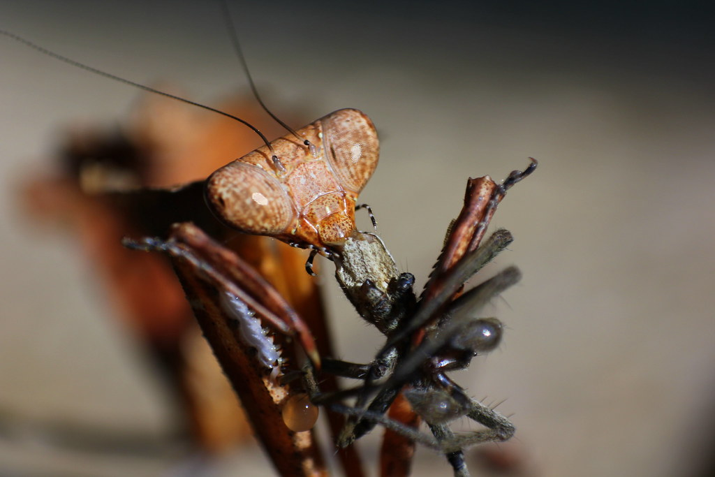 Praying Mantis Eating Spider Leaf Mantis Eating Spider