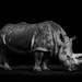 Rhinoceros in the dark