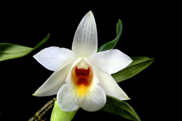 Dendrobium margaritaceum 17416375140_c461b752a6_z
