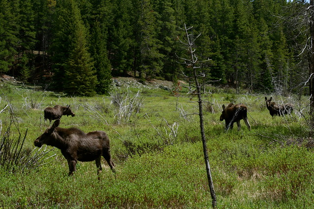 A Group Of Moose 46